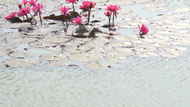 water lily lotus in pond - lily stock videos & royalty-free footage