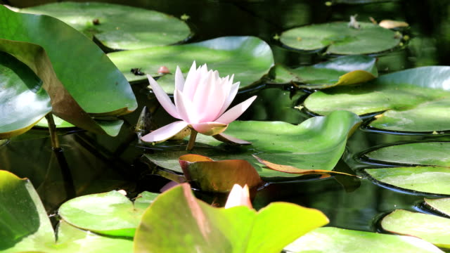 water lily nymphaea tetragona in low angle view - day lily stock videos & royalty-free footage