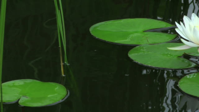 water lily pond dolly close up - lily stock videos & royalty-free footage