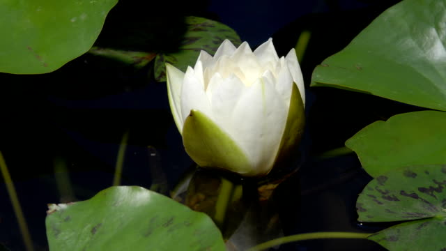 water lily, timelapse - day lily stock videos & royalty-free footage