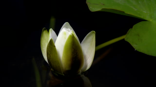 water lily, timelapse - lily stock videos & royalty-free footage
