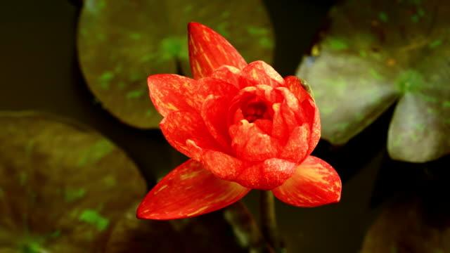 vidéos et rushes de nénuphar - bouton de fleur