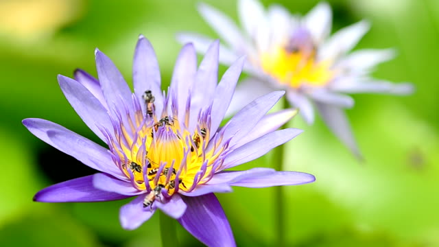 water lily with bees - animal antenna stock videos & royalty-free footage