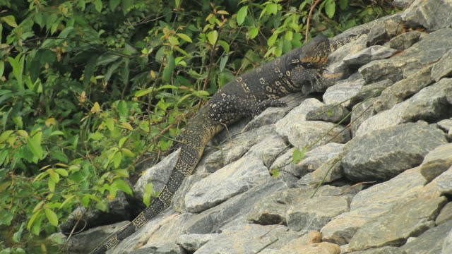 water monitor (varanus salvator) baving on shore outside the water - water monitor stock videos and b-roll footage