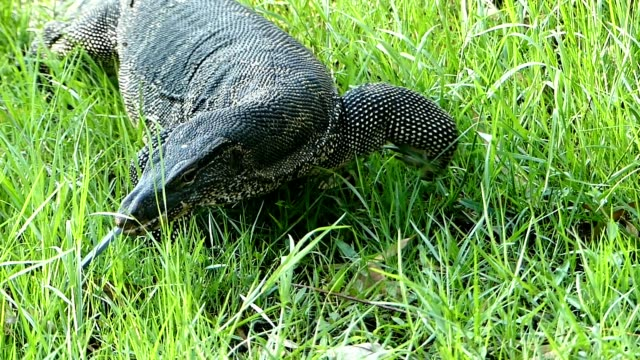 water monitor crawling over green grass - extinct stock videos and b-roll footage