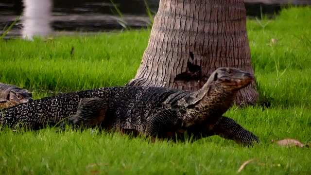 water monitor crawling over green grass - water monitor stock videos and b-roll footage