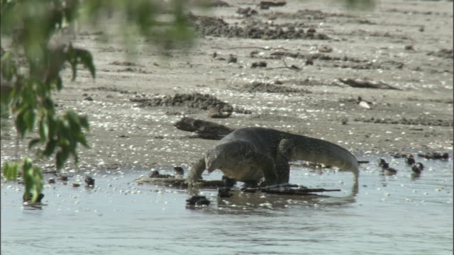a water monitor flicks its tongue as it slowly creeps along a sandy riverbank. available in hd. - water monitor stock videos and b-roll footage