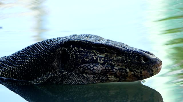 water monitor in the pond - water monitor stock videos and b-roll footage