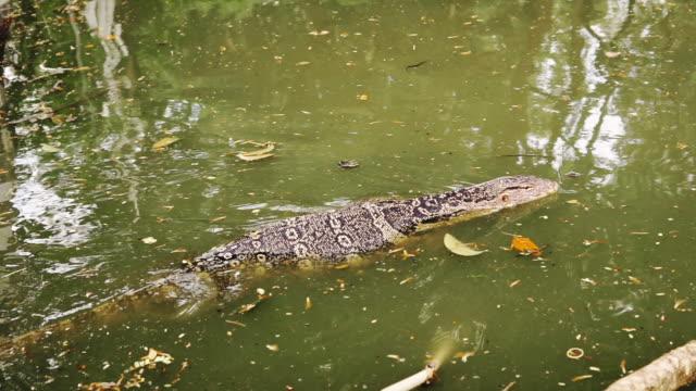 Water Monitor Lizard (Varanus) in Lumpini park, Bangkok, Thailand