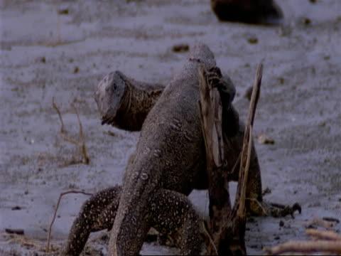 MCU 2 Water Monitor Lizards fighting, India