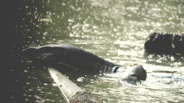 water monitor swimming in river - claw stock videos and b-roll footage