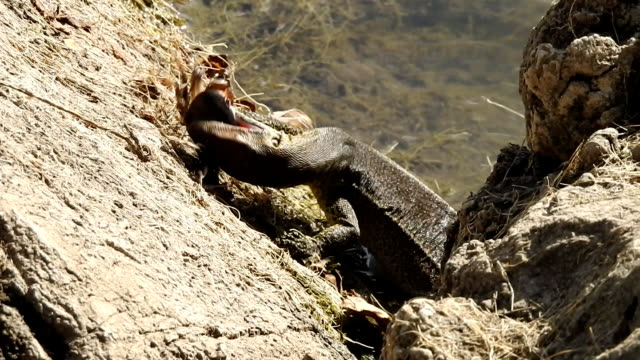 water monitor - lizard stock videos and b-roll footage