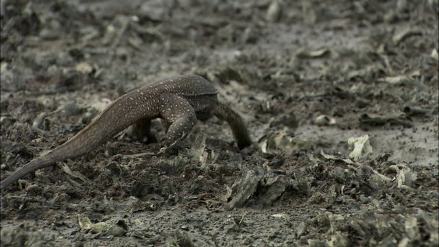 ws ts water monitor (varanus salvator) walking towards water / siem reap province, cambodia - water monitor stock videos and b-roll footage