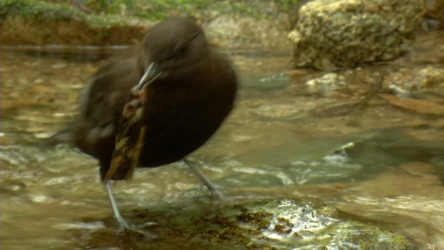 A water ouzel eating a larva from the tree in the river upstream