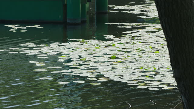 water plant floating on lake / berlin, germany - aquatic plant stock videos & royalty-free footage