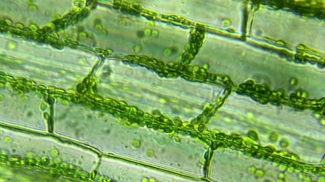 water plant leaf, microscopic view - struttura cellulare video stock e b–roll