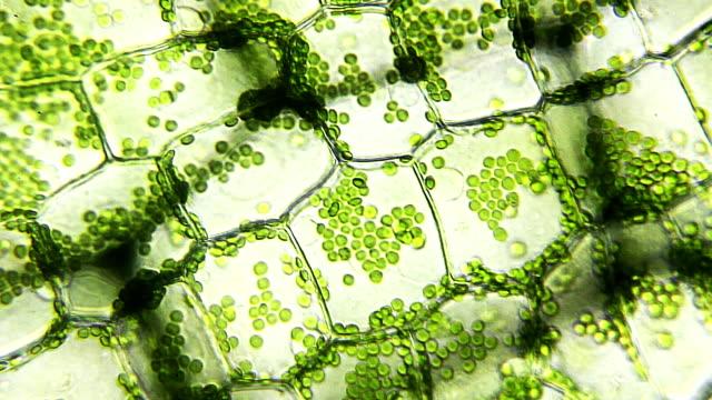 water plant leaf, microscopic view - fotosintesi video stock e b–roll