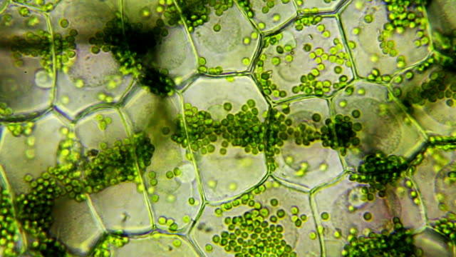 Water plant leaf, microscopic view