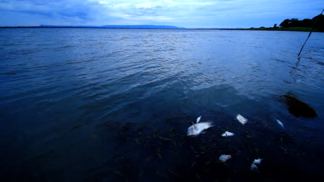 stockvideo's en b-roll-footage met water pollution and dead fishes - dood dier
