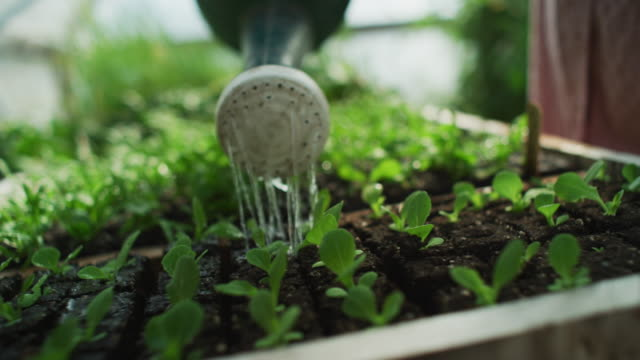 water pours from a watering can on to lettuce seedlings just sprouting in the green house of an organic farm-to-table garden. - farm to table stock videos & royalty-free footage
