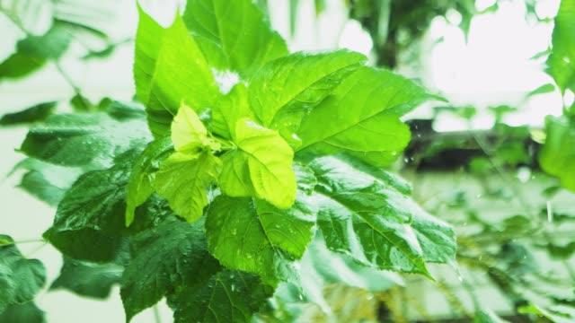 vidéos et rushes de goutte de pluie d'eau avec la feuille verte fraîche pour le fond de nature de la chute de goutte de rosée de près de la feuille - lenteur