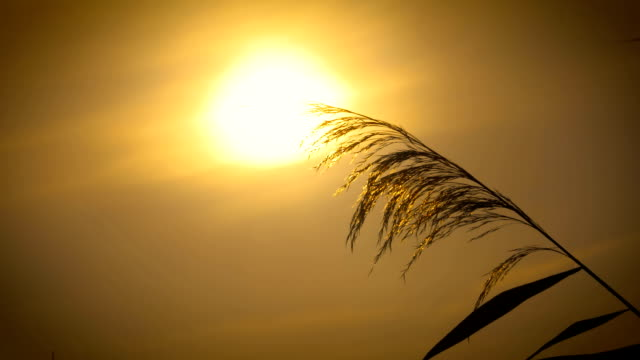 water reed at sunrise in slow motion - schilf stock videos and b-roll footage