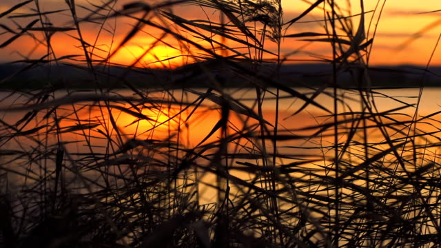 cs water reed in the sunset - crane shot stock videos & royalty-free footage