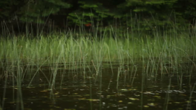 Water Reeds and Grass on Edge of Dark Water Lake