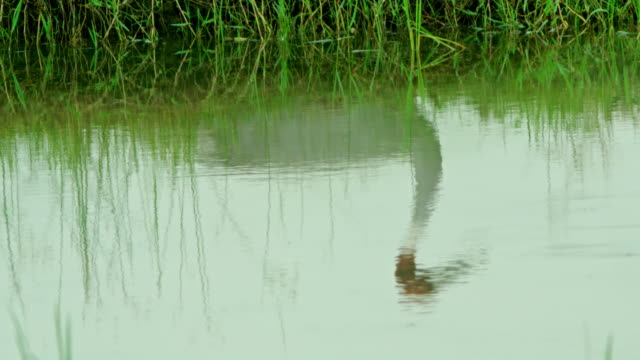 vídeos de stock, filmes e b-roll de water reflection of sarus crane - cabelo ruivo