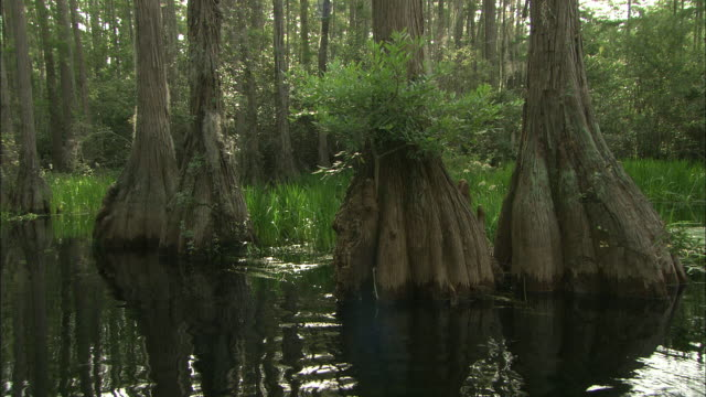water ripples at the base of trees in the okefenokee swamp. - オケフェノキー国立野生生物保護区点の映像素材/bロール