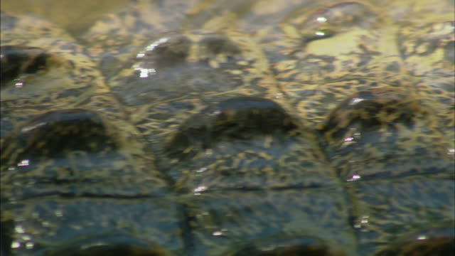 water ripples over the back of a crocodile. - scaly stock videos & royalty-free footage