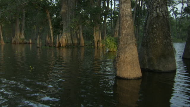 water rippling around cypress trees. - sumpf stock-videos und b-roll-filmmaterial