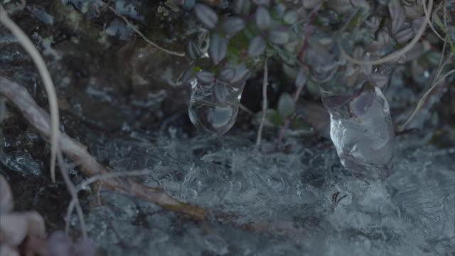 Water seen dripping from a frozen leaf, Hokkaido, Japan.