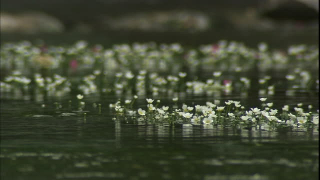 Water shimmers around tiny flowers of the ranunculus-aquatilis on the Jizo River in Japan.