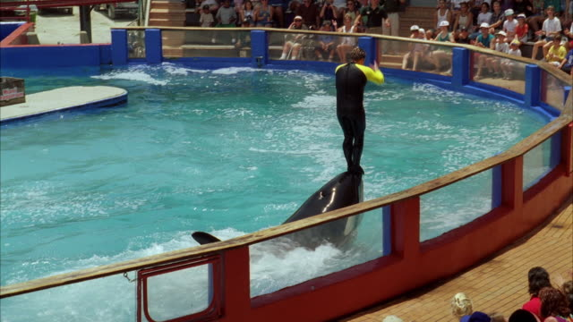 ws pan water show with whale at miami seaquarium / key biscayne, florida, usa - killer whale stock videos & royalty-free footage
