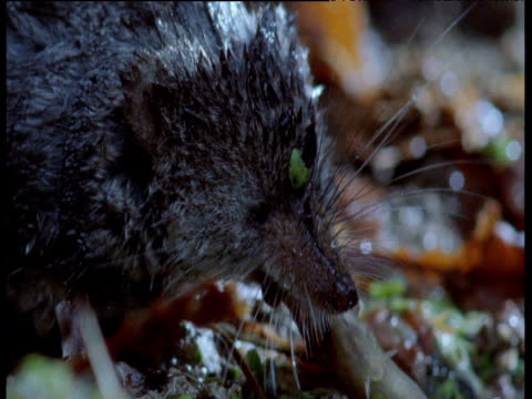 water shrew eats fish, uk - conceptual symbol stock videos and b-roll footage