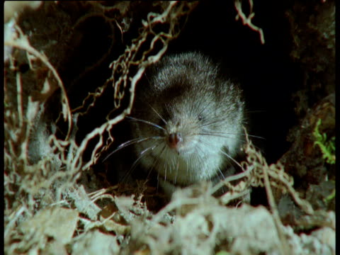 vídeos de stock, filmes e b-roll de water shrew sniffs air from within burrow entrance, uk - squiggle