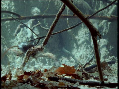 water shrew swims underwater from left to right, uk - 小枝点の映像素材/bロール