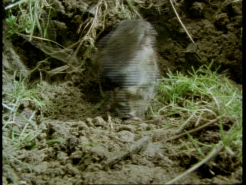 2 water shrews meet and fight, england, uk - water fight stock videos & royalty-free footage