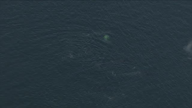 vídeos de stock, filmes e b-roll de water sprays upward as humpback whales chuff when they surface. - espiráculo