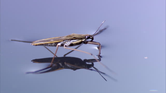 A water strider rests and walks on the surface tension of still water