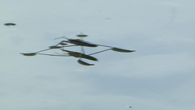 vídeos y material grabado en eventos de stock de water striders move around on the water surface - grupo mediano de animales