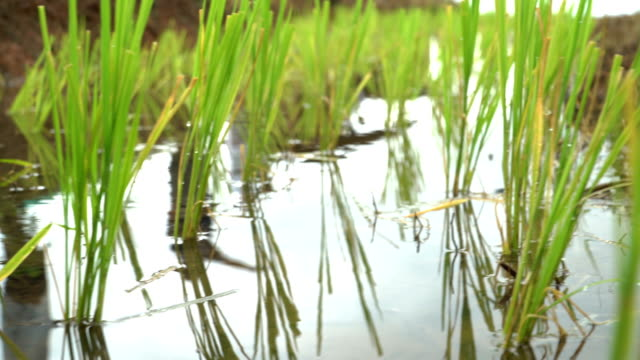 water suface reflection on rice terrace - paddy field stock videos and b-roll footage