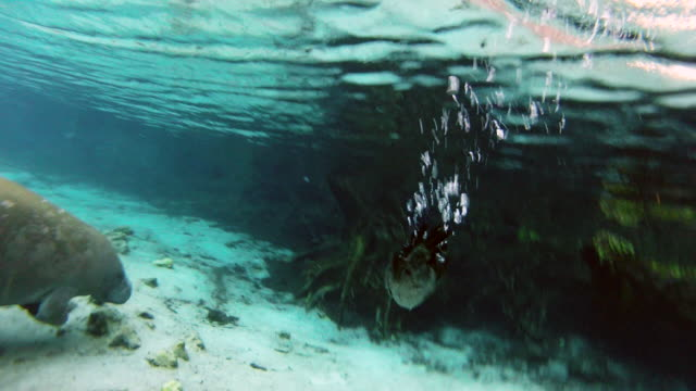 stockvideo's en b-roll-footage met water surface of level cormorant hunting for food while manatee swimming in sea - everglades, florida - cormorant