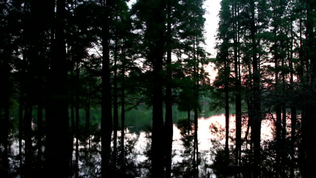 water taxodium ascendens forest near sunset with reflections - nadelbaum stock-videos und b-roll-filmmaterial