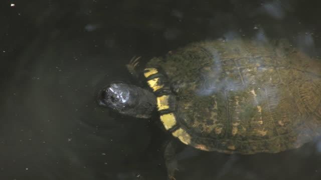 water turtle 4-hd-bis 30 - tierkörper stock-videos und b-roll-filmmaterial