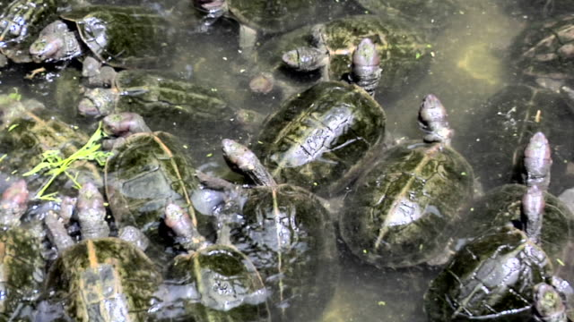 ms zi pan water turtles in small pond inside kek lok si temple as good luck symbol / ayer hitam, penang, malaysia - large group of animals stock videos & royalty-free footage