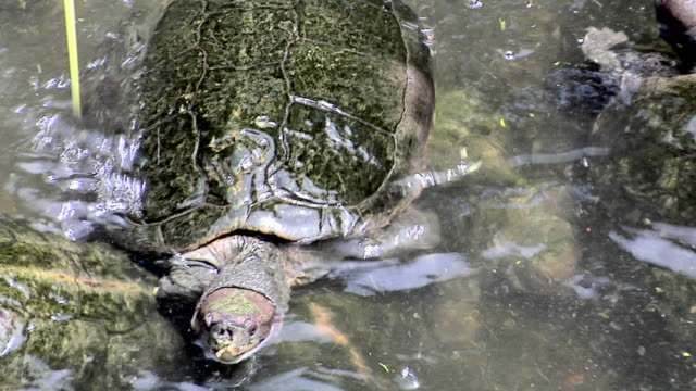 cu water turtles in small pond inside kek lok si temple as good luck symbol / ayer hitam, penang, malaysia - large group of animals stock videos & royalty-free footage