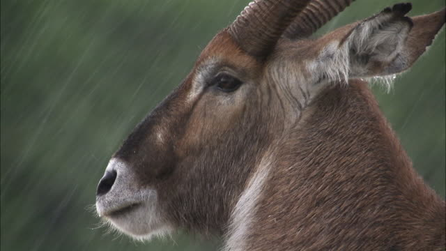 Waterbuck (Kobus ellipsiprymnus) in rain storm, Lake Edward, Uganda
