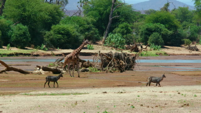 Waterbuck & Reticulated Giraffe Walking At Ewaso Nigiro River Samburu  Kenya  Africa